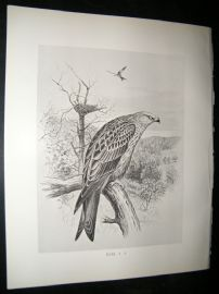 Frohawk 1898 Antique Bird Print. Kite